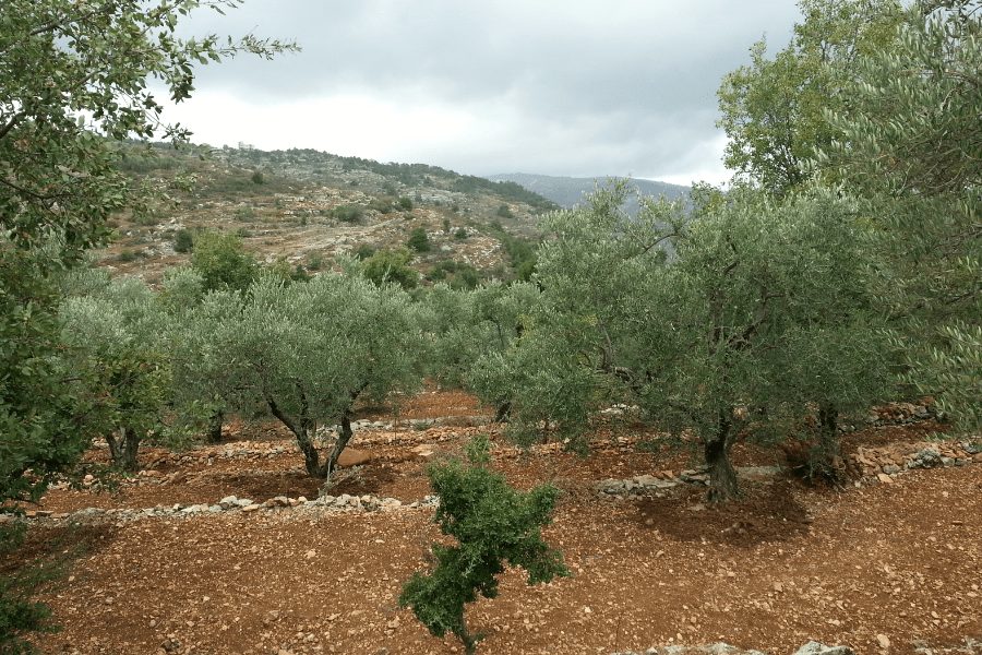 Olive Orchards Khraybet el Shouf