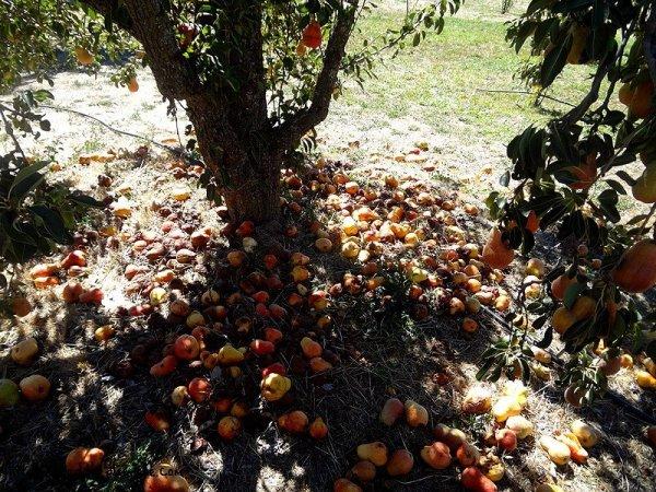 fallen-pears