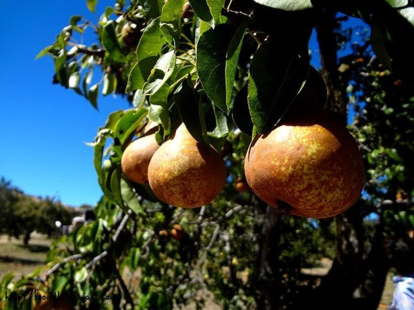 hanging-pears