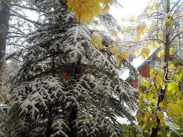 snowy-winter-pine-trees