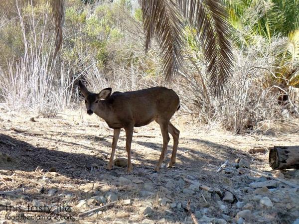 catalina-island-deer