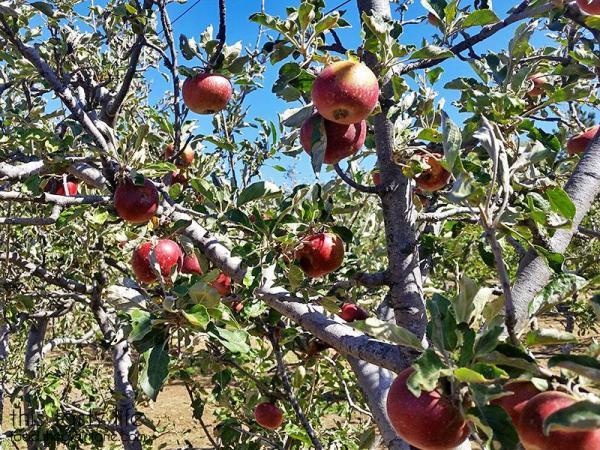 jonathan-apple-trees