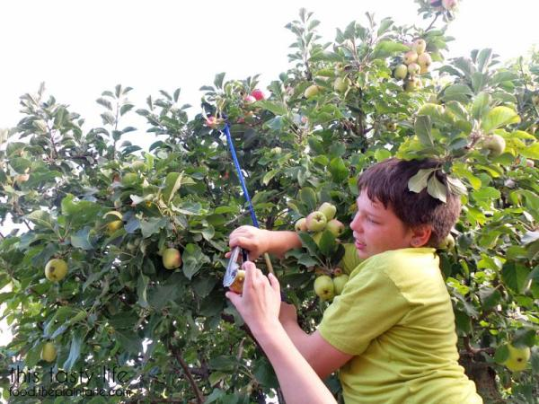 picking-apples-with-tongs