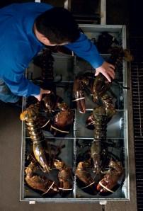 Operations Manger, Paul Valdez, wrangles lobsters