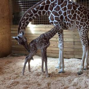 LIVE GIRAFFE CAM: APRIL THE GIRAFFE GIVES BIRTH