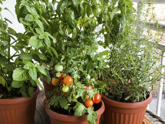 potted-herbs-tomatoes-992230612