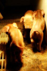 Pigs4
