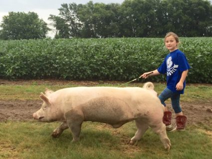 Walking Wilbur The Pig