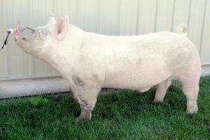 Wilbur York Boar The Clark Families Show Pigs