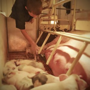 pig farrowing