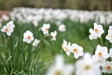 narcissus along river cherwell