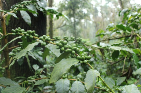 coffee plant, coffee beans