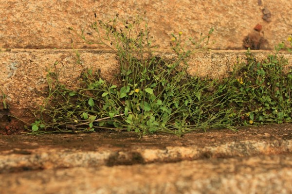plant in cracks of stone walls