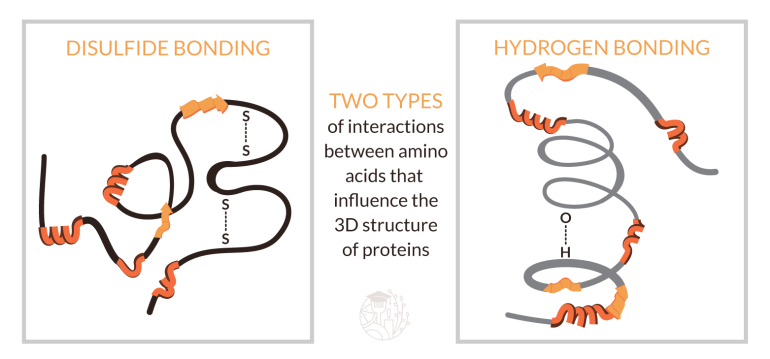 illustration of sulphur and hydrogen bonds in proteins