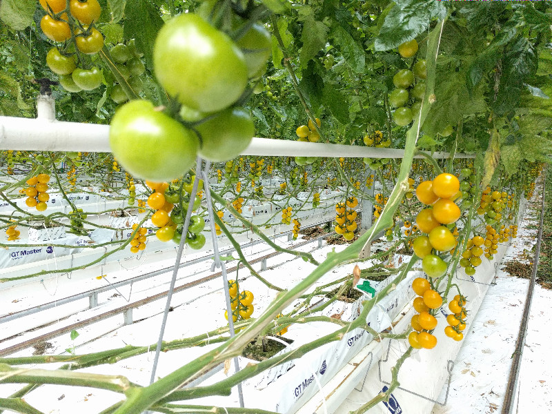 Yellow vs red tomatoes – Colour science