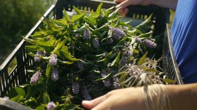 sawmill herb farm csa