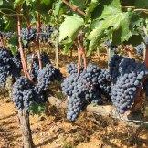 Montalcino Grapes