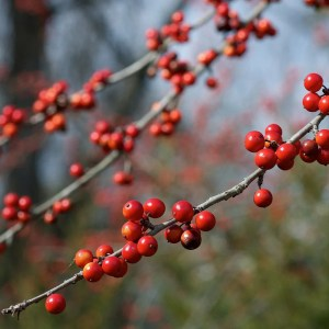 Deciduous Holly