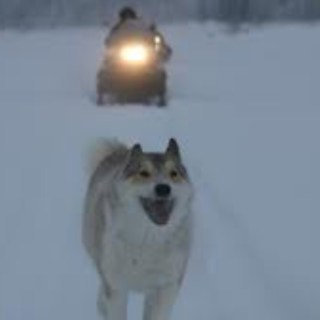 Eating For Endurance Like a Happy Dog of the Taiga