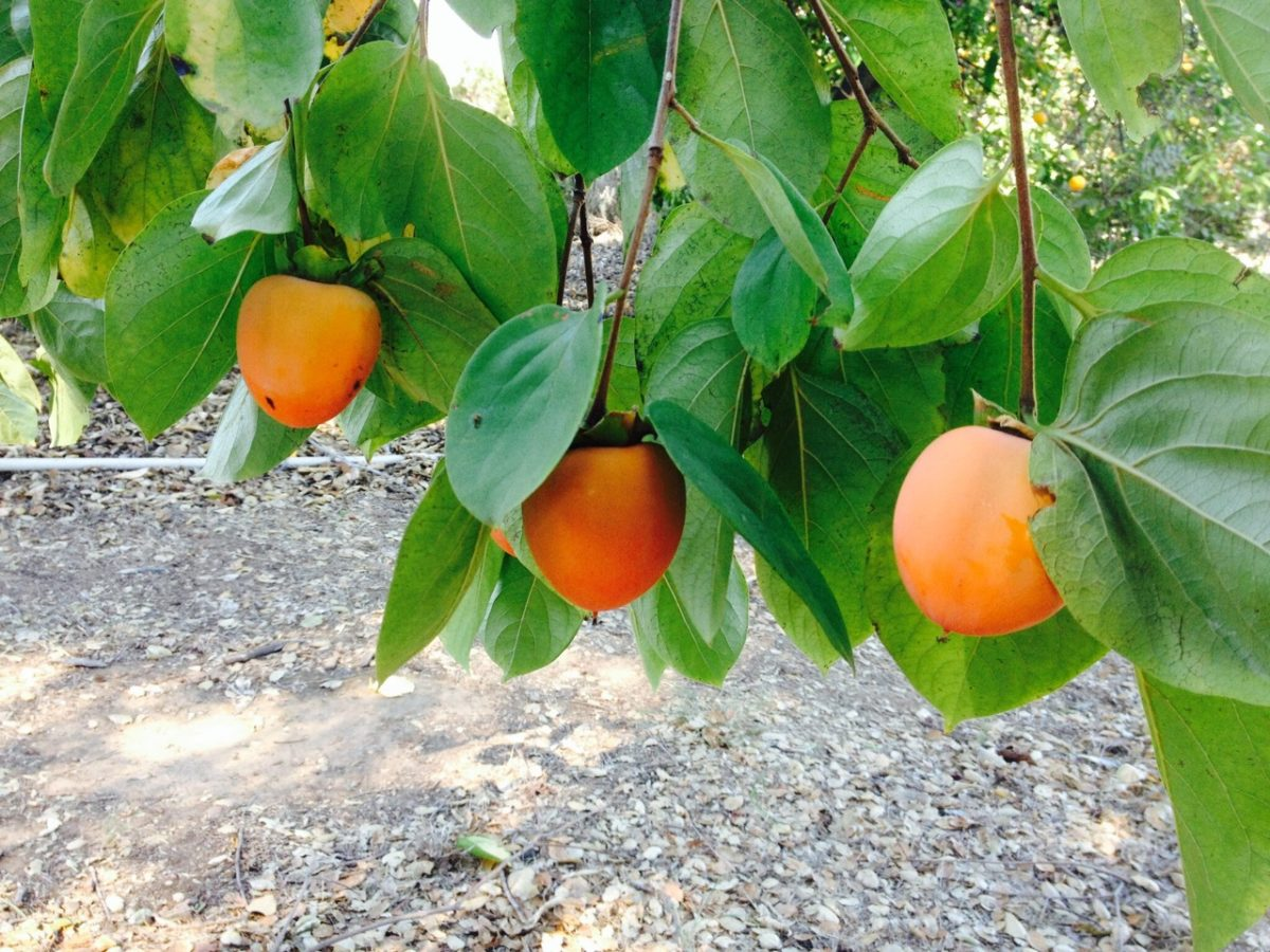 Harvest of the Month for November – Persimmons
