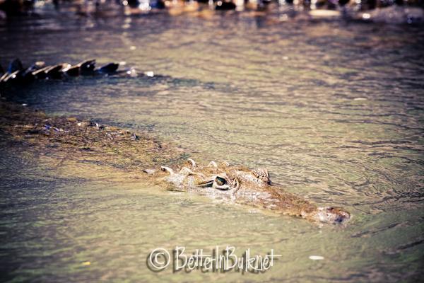 Crocodile in Costa Rica