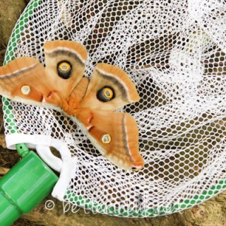 Big huge Maryland moth