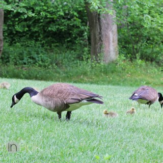 Baby Geese #WordlessWednesday