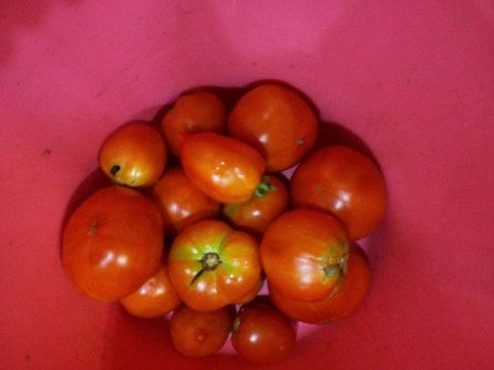 more tomato bounty