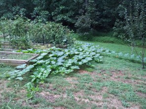 winter squash vines running
