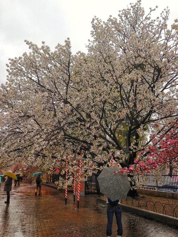 Foodicles Osaka Cherry Blossom 4