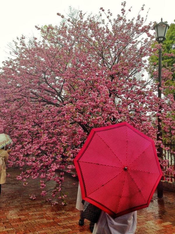 Foodicles Osaka Cherry Blossom 5