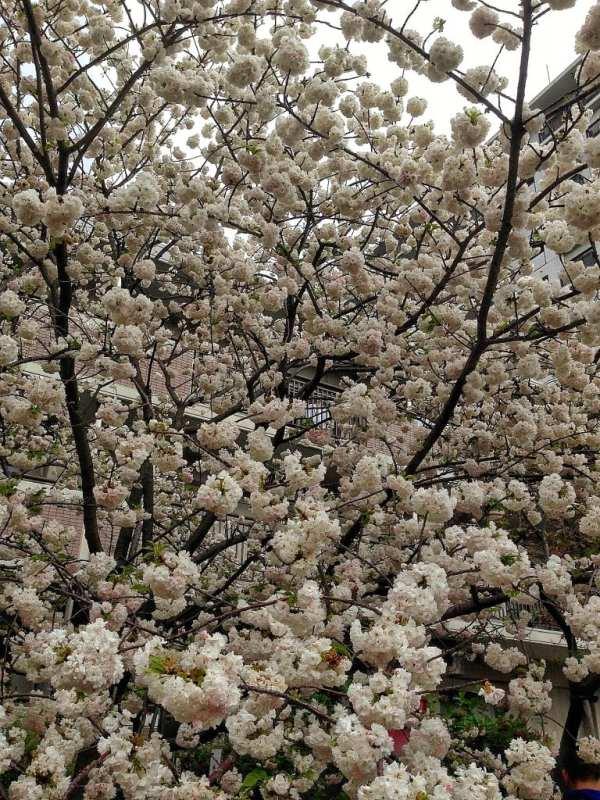 Foodicles Osaka Cherry Blossom 8