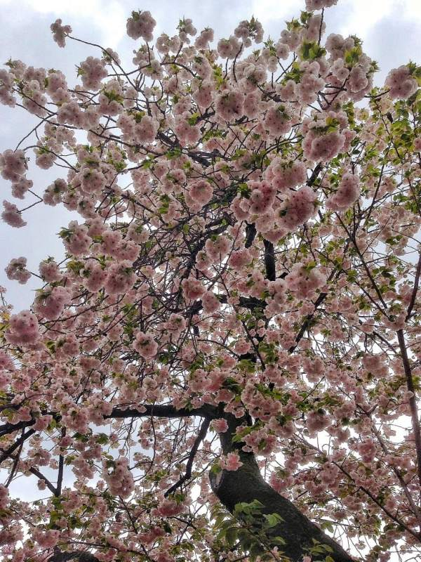 Foodicles Osaka Cherry Blossom 9