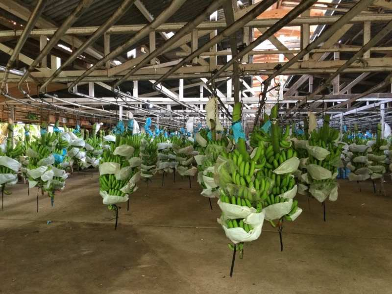 beach-hijo-resort-23-banana-plantation-tour