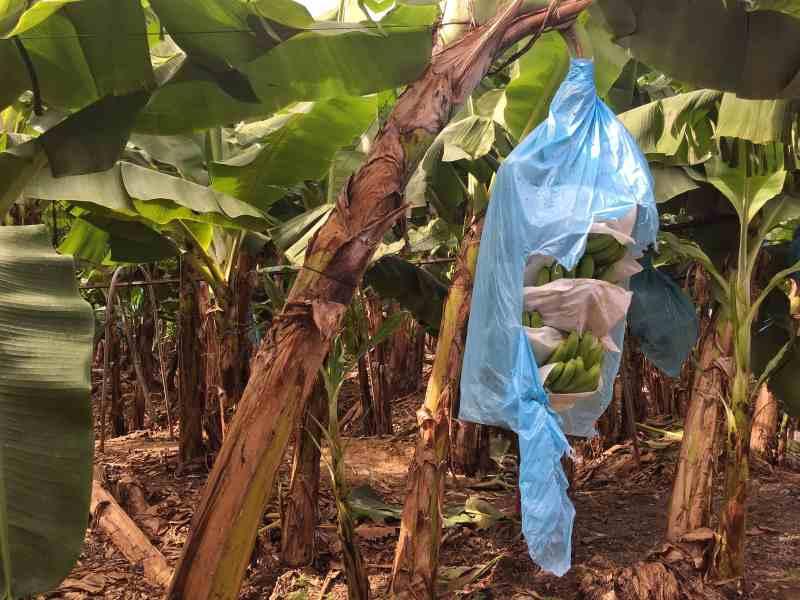 foodicles-banana-beach-hijo-resort-22-banana-plantation-tour