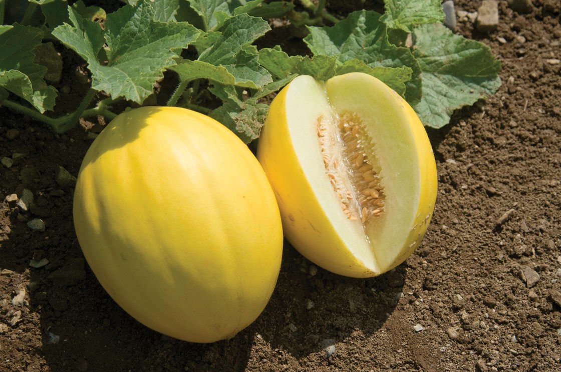 10 Important Facts You Should Know About Golden Melon - FoodieDame
