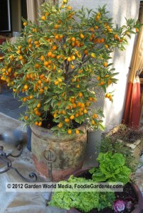 Potted Kumquat tree full of fruit