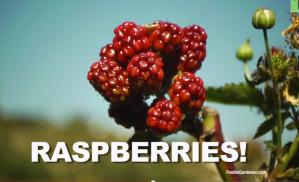 Raspberries Growing on Vine in Garden Foodie Gardener