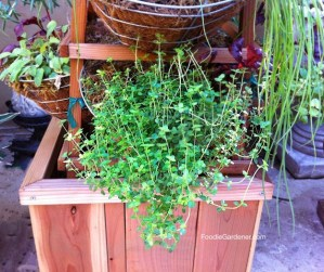 OREGANO HERB BASKET FOODIE GARDENER