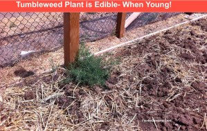 edible tumbleweed plant growing in the garden. Great spinach alternative