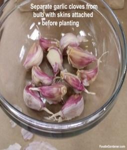garlic cloves ready for planting foodie gardener