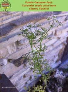 Coriander seeds from cilantro flowers foodie gardener fact