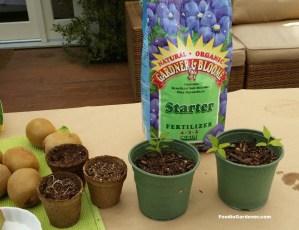 fertilize seed grown kiwi when first set of true leaves grow foodie gardener