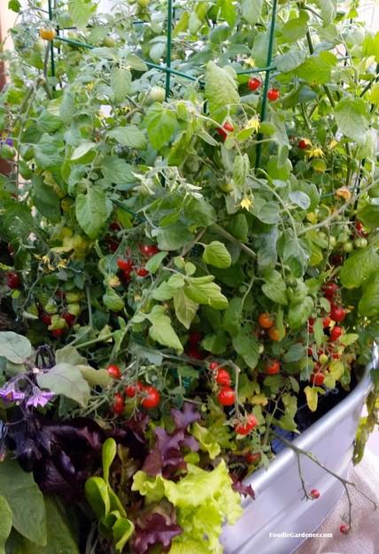 cherry tomatoes growing in metal trough with salad greens foodie gardener