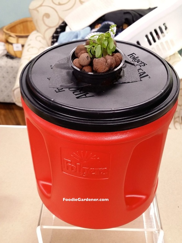 small hydroponic lettuce seedling in net pot coffee container planter foodie gardener