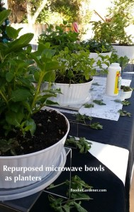 White plastic planters mint plants foodie gardener blog