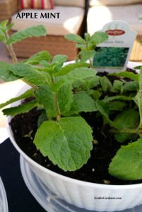 apple mint mentha suaveolens foodie gardener blog