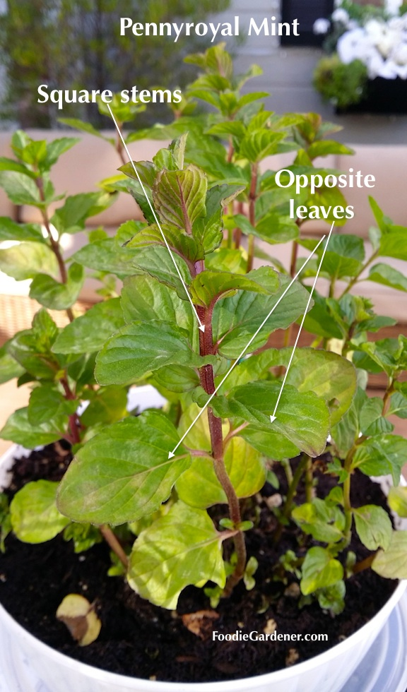 close up mint pulegrium pennyroyal with red square stems opposite leaves foodie gardener blog