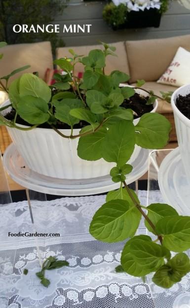 orange mint plant mentha piperita citrata foodie gardener blog