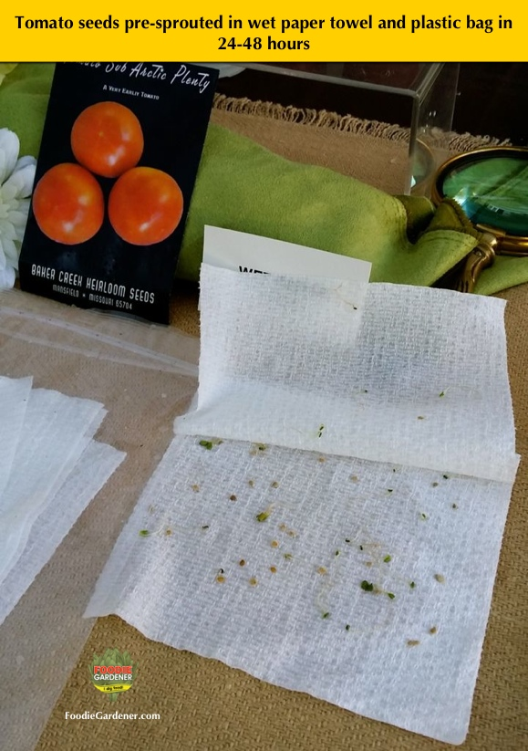 sprouted tomato seeds in wet paper towel foodie gardener shirley bovshow